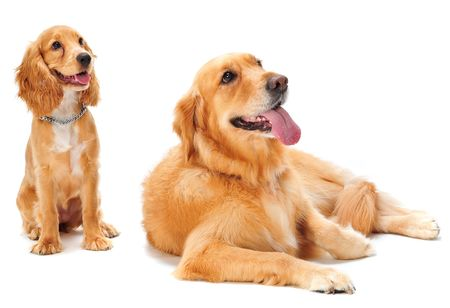 A golden retriever and cocker spaniel puppy in the studio