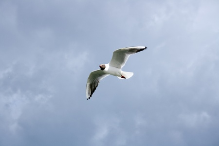 Gull, lonely floating in the sky Stock Photo
