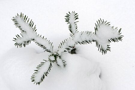 fir branches covered with snow and frost on the background of new snow photo