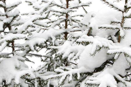 눈과 서리와 가문비 나무 분기의 배경