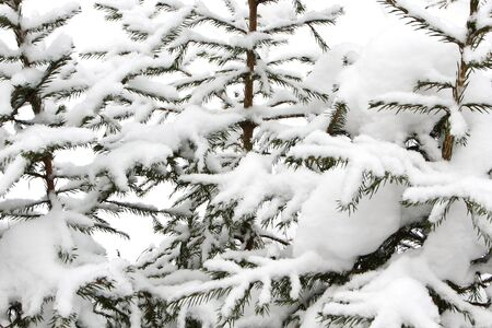 background of spruce branches with snow and frost