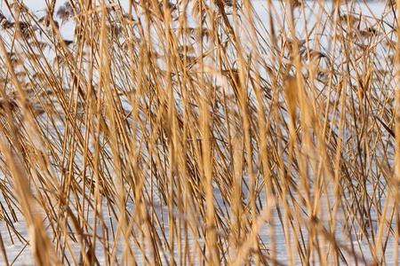 background of the winter dry sedge photo