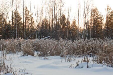 frozen swamp, with with reeds and sedges photo