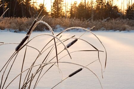 cane, frosted in the sunset on the background of trees and sedges