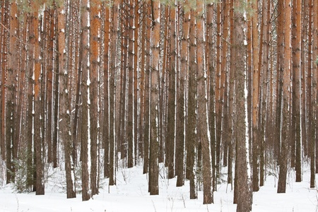 Pine winter forest - high trunks of trees photo