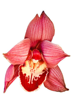 bright red orchid isolated on a white background Stock Photo