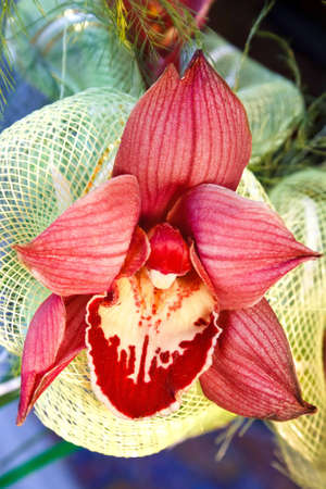 bright red orchid with decorative mesh of the bunch photo