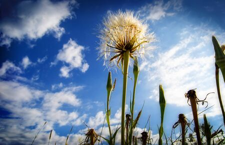 Dandelion shot at low angle with beautiful sky behind it.