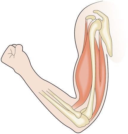 arm muskeln: Muskelkraft