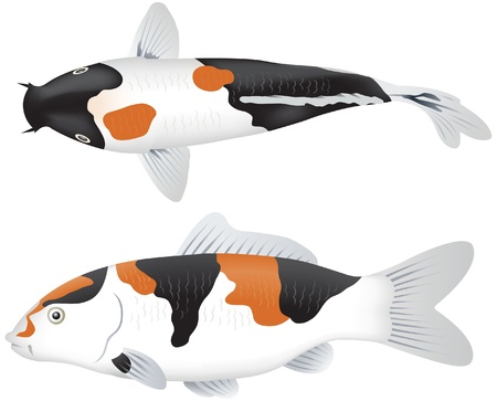 Koi carp, side and top view Vector