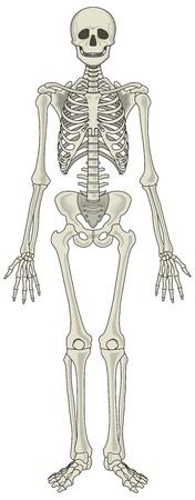 human skeleton: Vector esqueleto humano