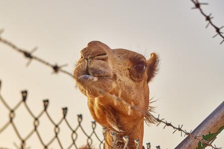 camel behind fence