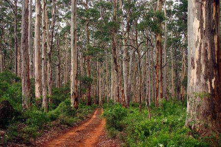 national forests: Karri Forrest in Southwest WA