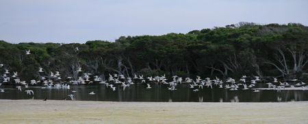 Seabirds in Flight at Bremer Bay
