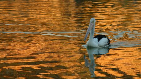 Curious Pelican during sunrise on the Murray River, South Australia.