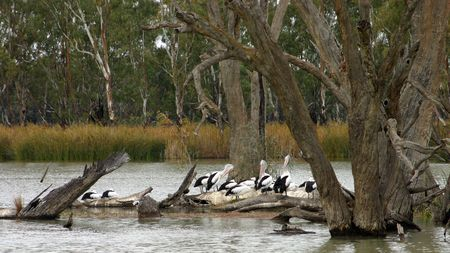 Pelicans on the Murray River near Kingston-on-Murray. Stock Photo
