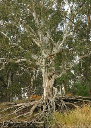 River Gum on the Murray River