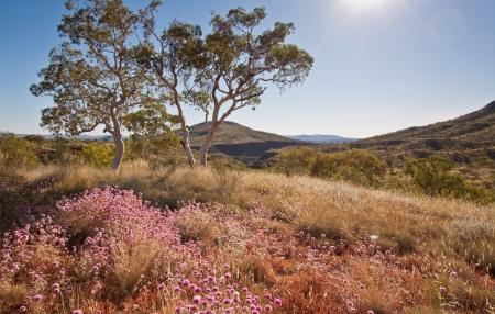 Purple desert wildflowers in the late afternoon with trees and mountains in the background in the Karijini National Park, outback, Western Australia