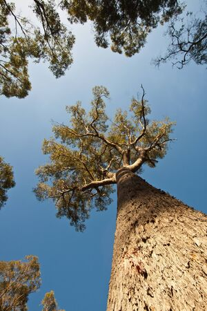 A view looking verticallly upwards at a massive trunk of a Tuart tree against a bright blue sky  Stock Photo