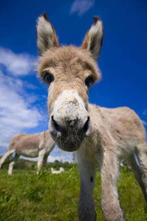 Inquisitive little donkey in a green field photo