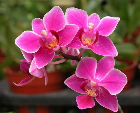 fascinate: Beautiful orchid flowers Stock Photo