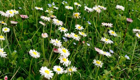 daisys: paquerettes in a meadow in spring