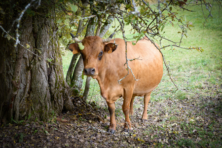 closeup cow face: brown cow Tarinne in a meadow under a tree