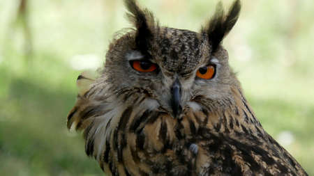 rear end: Eagle OwlAn eagle owl