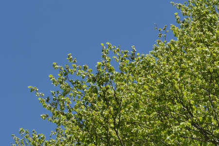 french countryside: a foliage in the blue sky in french countryside