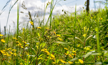 yellow wildflowers: yellow wildflowers in the meadows