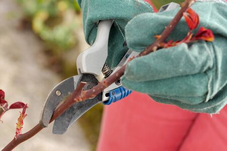 woman cuts the rose trees in spring, close up Stockfoto