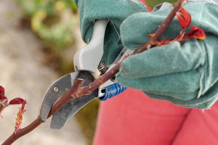 vrouw snijdt de rozenbomen in het voorjaar, close-up
