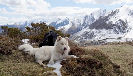 pyrenean mountain dog: the beautiful Pyrenean Mountain dog