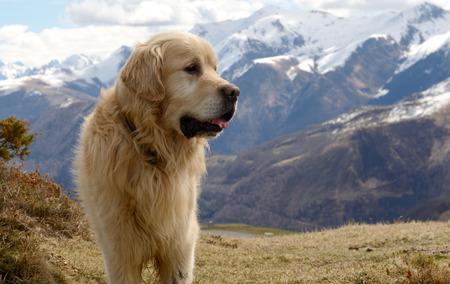 El hermoso perro de montaña de los Pirineos, fondo de nieve Foto de archivo - 75397658