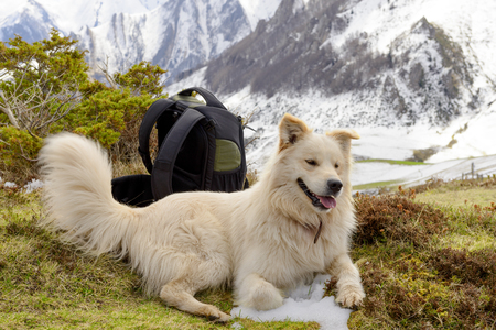 great pyrenees: the beautiful Pyrenean Mountain dog, snow background Stock Photo