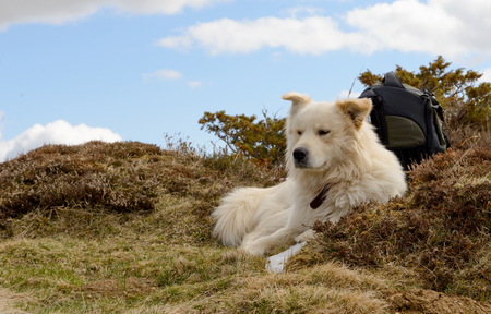 great pyrenees: the beautiful Pyrenean Mountain dog