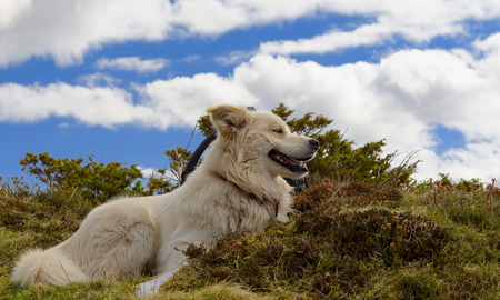 great pyrenees: a beautiful white Pyrenees mountain dog