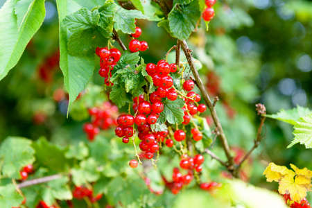 the ripe red currants in the garden
