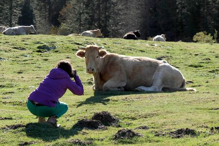 a woman photographing a cow in french Pyrenees Stock Photo