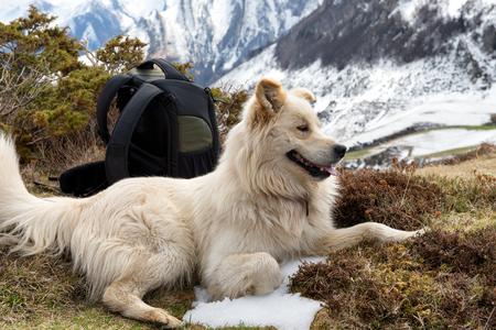 the beautiful Pyrenean Mountain dog