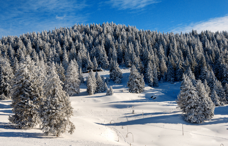a view of snow-covered fir trees in winter