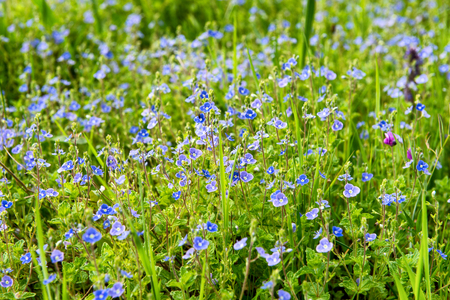 blue flowers in the countryside , spring season