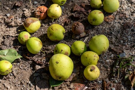 group of fallen apples on the ground Stock fotó