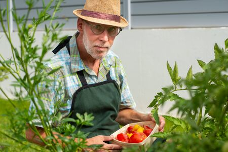a man gardener picking tomatoes in the vegetable garden