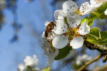 pears blossoms with a butine bee.