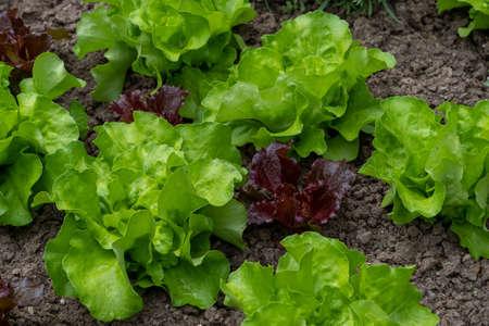 organic lettuce salads in the garden