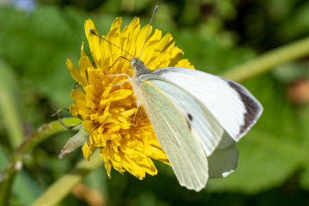 a close up of white butterfly on a dandelion