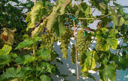 the white grape on the vine Foto de archivo