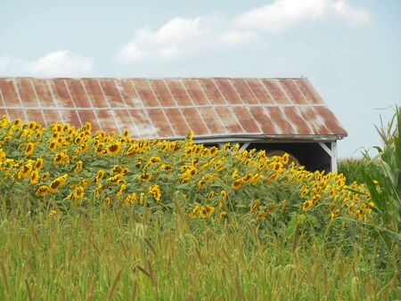 Sunflowers near a barn with a rusting roof