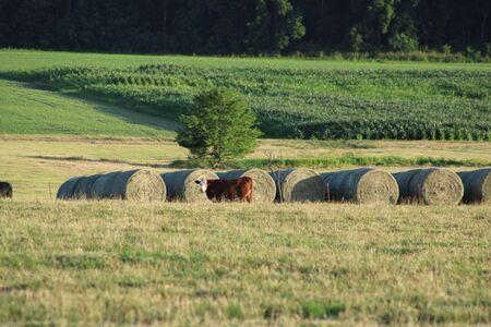 Fardos de heno y vaca en la granja, maizal en segundo plano.